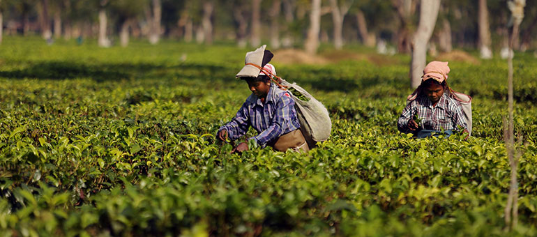 Tea workers in the gardens of Assam