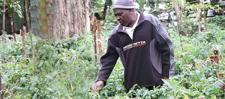 Joseph Mbatia in his tomatoes garden