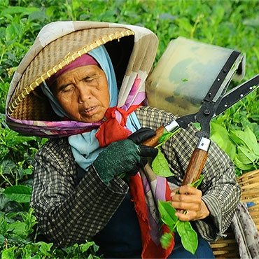 Woman in a tea plantation